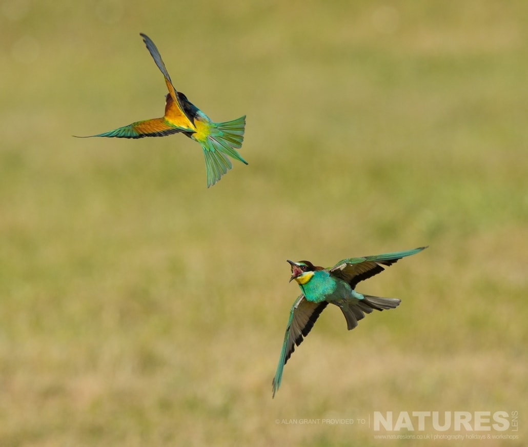 Settling a dispute as only bee eaters can photographed on one of the pair of NaturesLens Wildlife Photography Holidays to capture images of the Birds of Spain