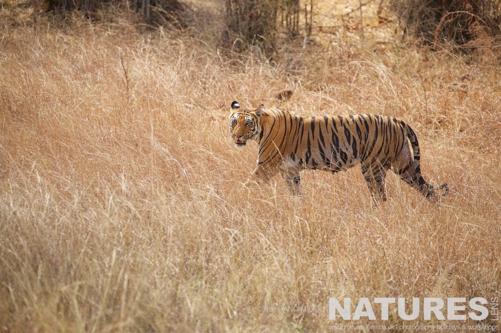 Spotty, one of the proud mothers of Bandhavgarh, seen here walking in the long grass of one of the meadows within her territory photographed on the 2017 Tigers of Bandhavgarh Safari Holiday