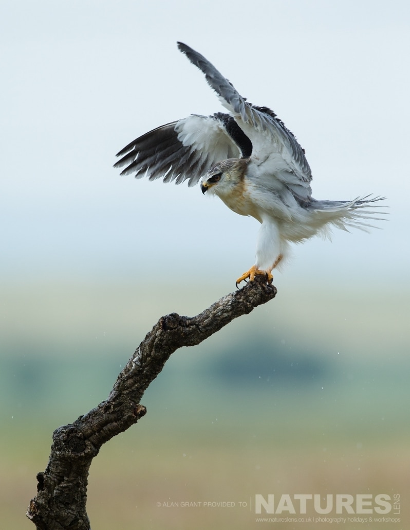 The fantastic black winged kite a simply stunning bird photographed on one of the pair of NaturesLens Wildlife Photography Holidays to capture images of the Birds of Spain
