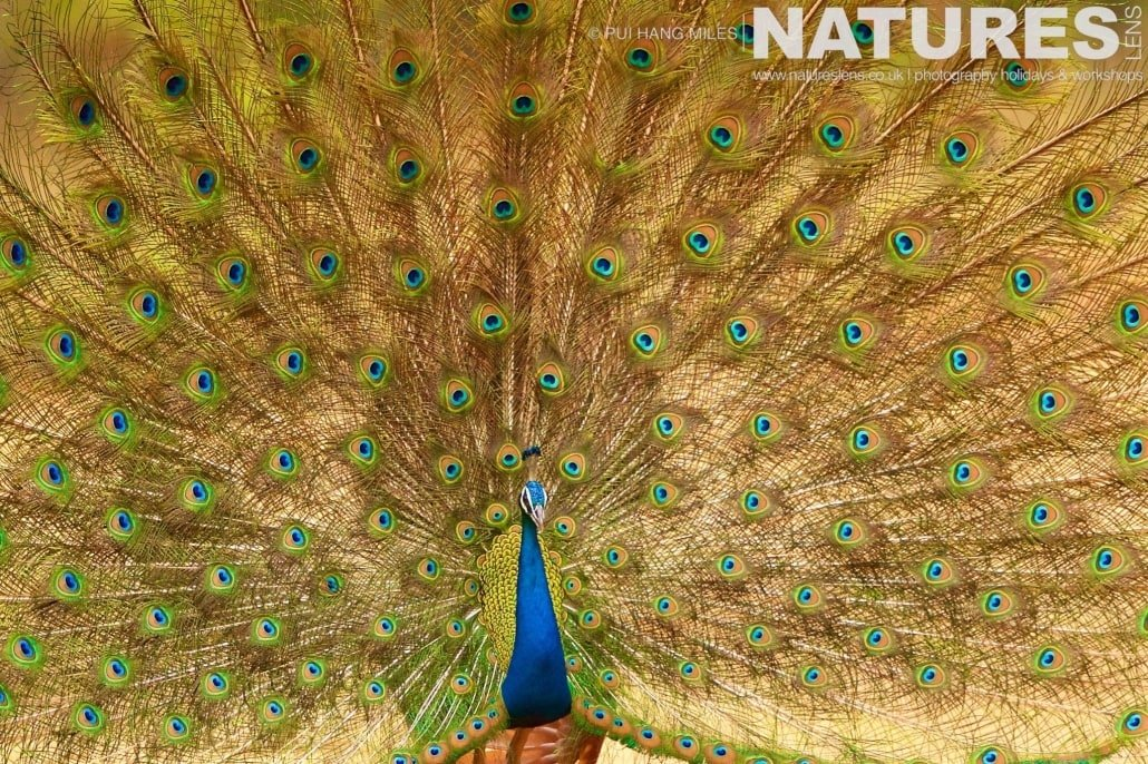 The magnificent backdrop of one of Bandhavgarh's peacock's displaying photographed on the 2017 Tigers of Bandhavgarh Safari Holiday