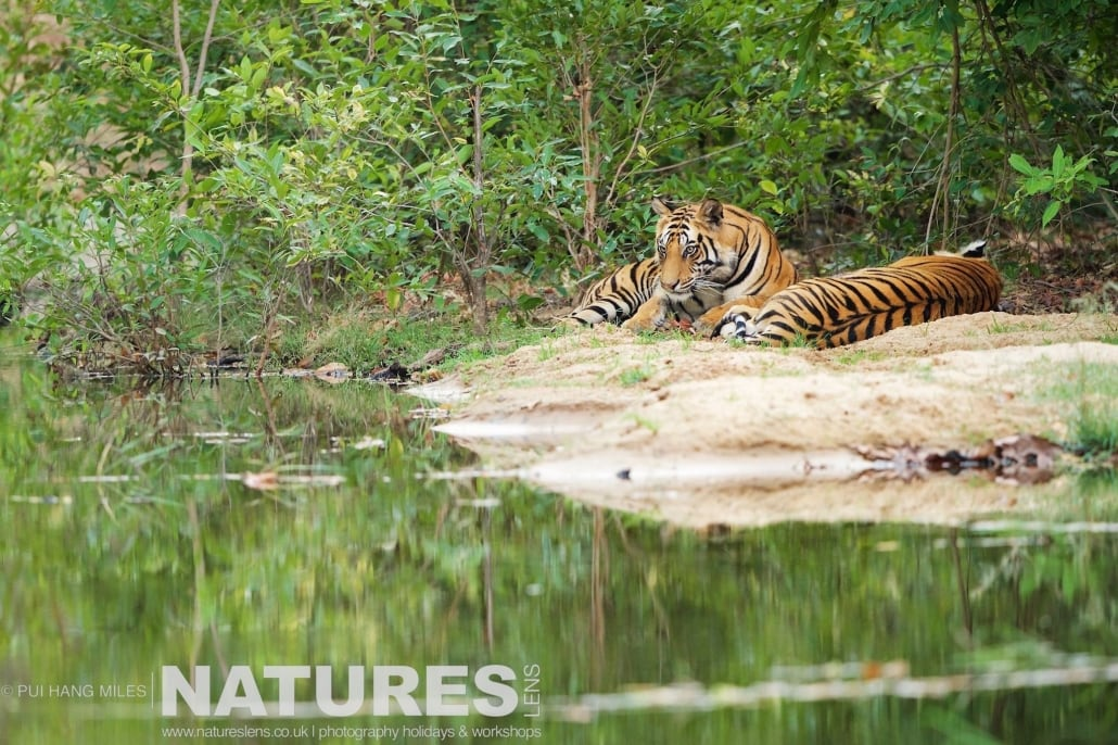 The spot where three tiger brothers have made home their island in the middle of one of the watering holes photographed on the 2017 Tigers of Bandhavgarh Safari Holiday