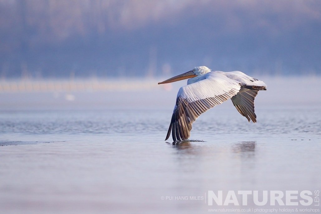 With a wing dipping in the water, one of the pelicans flies over Lake Kerkini image captured during the 2017 NaturesLens Dalmatian Pelican Photography Tour