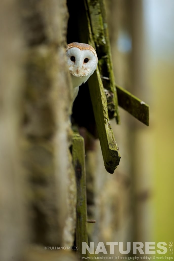 A Barn Owl peeking from a dilapidated barn door typical of the kind of images that may be captured on the NaturesLens Bird of Prey Workshop