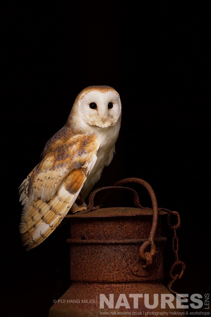 A Barn Owl sat upon a vintage milk churn typical of the kind of images that may be captured on the NaturesLens Bird of Prey Workshop