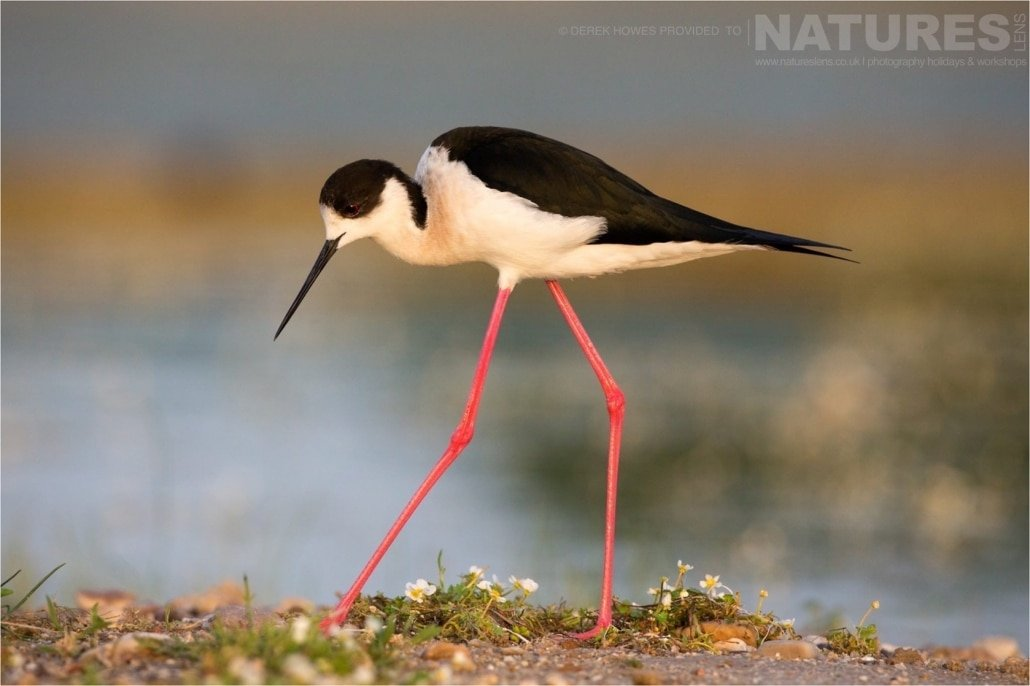 A Black winged Stilt strides along the shoreline photographed during the Natureslens Birds of Spain Photography Holiday