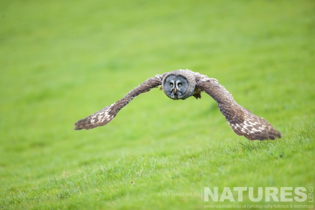 A Great Grey Owl in flight typical of the kind of images that may be captured on the NaturesLens Bird of Prey Workshop