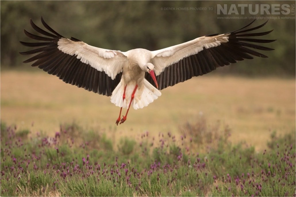 A White Stork comes in to land at the carrion feeding site photographed during the Natureslens Birds of Spain Photography Holiday
