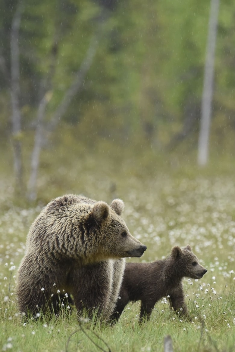 A Female Wild Brown Bear & Her Cub Of Suomussalmi Walks Through The Cotton Grass Meadow   Photographed During A NaturesLens Majestic Brown Bears Of Finland Photography Holiday