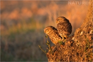 A mated pair of the little owls that live in one of the nearby olive groves photographed during the Natureslens Birds of Spain Photography Holiday