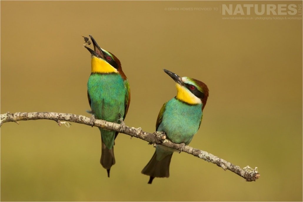 A pair European Bee eaters, one with a captured bee photographed during the Natureslens Birds of Spain Photography Holiday
