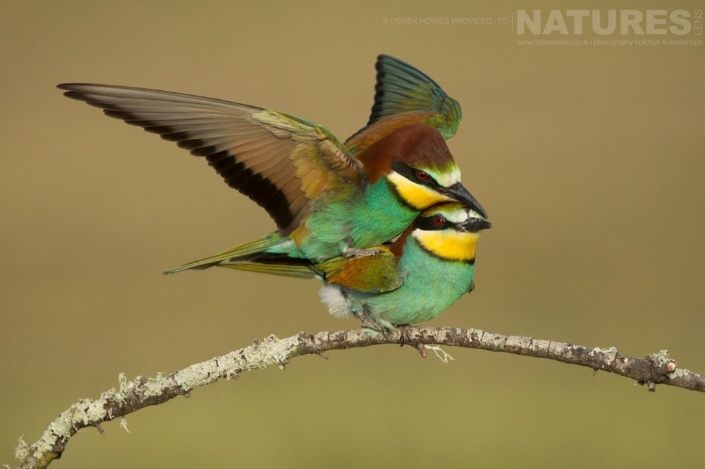 A pair of European Bee eaters mating photographed during the Natureslens Birds of Spain Photography Holiday