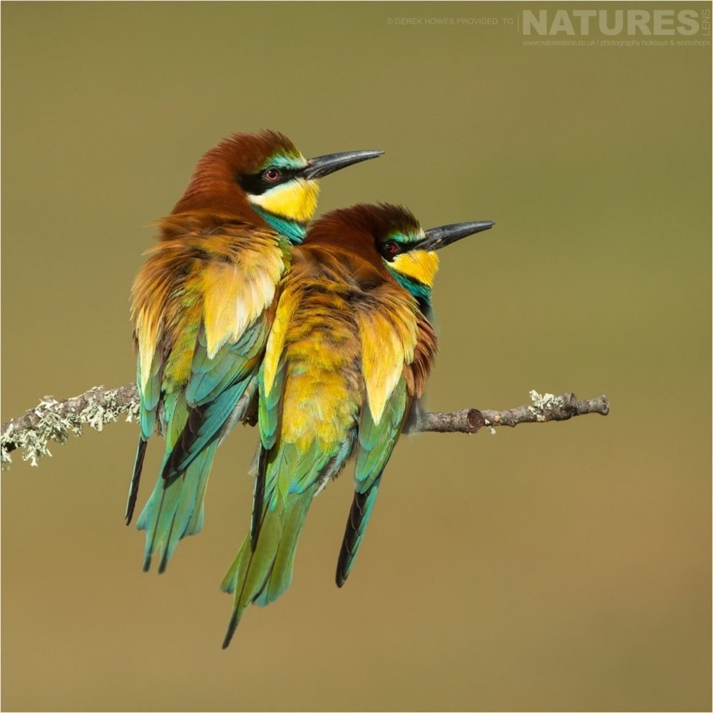 A pair of European Bee eaters showing off their beautiful plummage photographed during the Natureslens Birds of Spain Photography Holiday