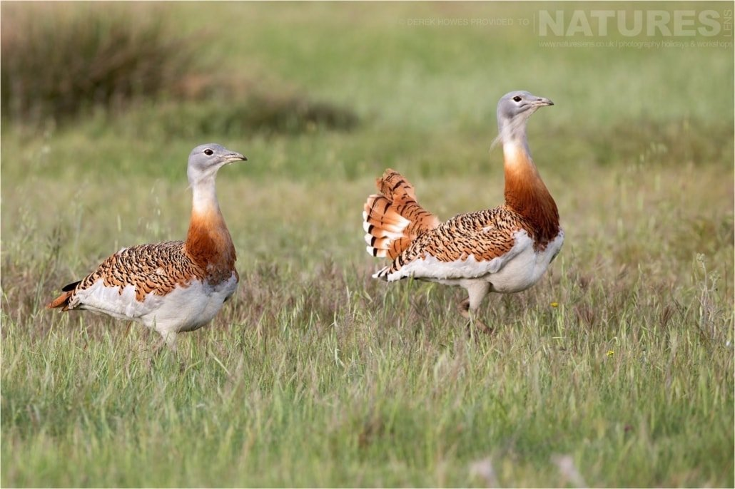 A pair of Great Bustards males walk through the plains of Calera photographed during the Natureslens Birds of Spain Photography Holiday