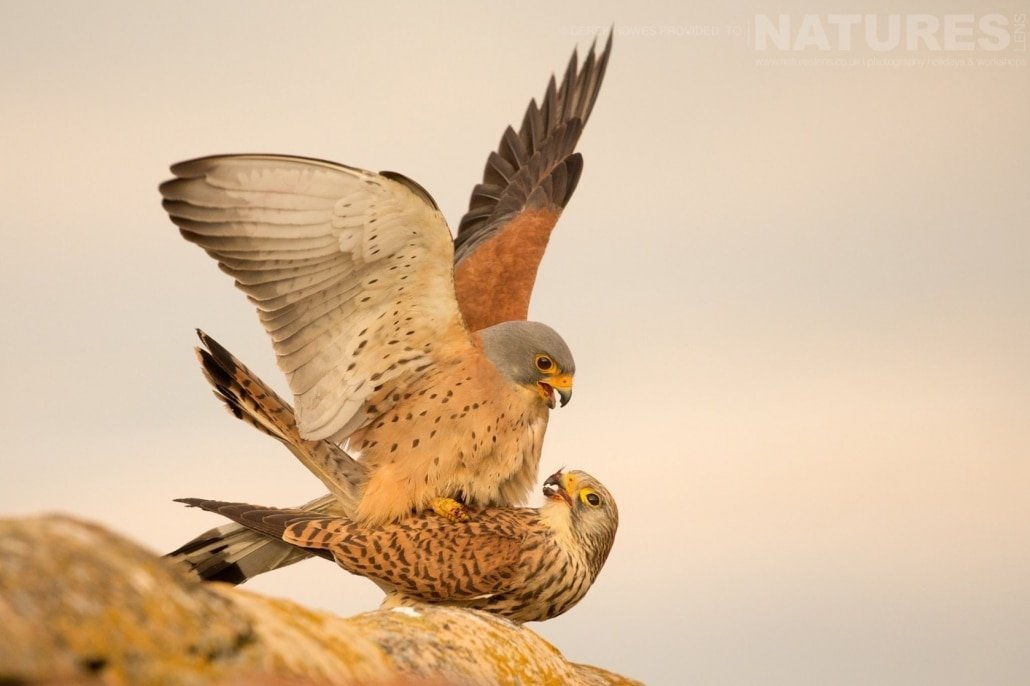 A pair of Lesser Kestrels mating on the roof of an abandoned outbuilding photographed during the Natureslens Birds of Spain Photography Holiday