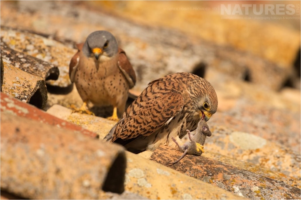 A pair of lesser kestrels on the roof of an abandoned outbuilding photographed during the Natureslens Birds of Spain Photography Holiday