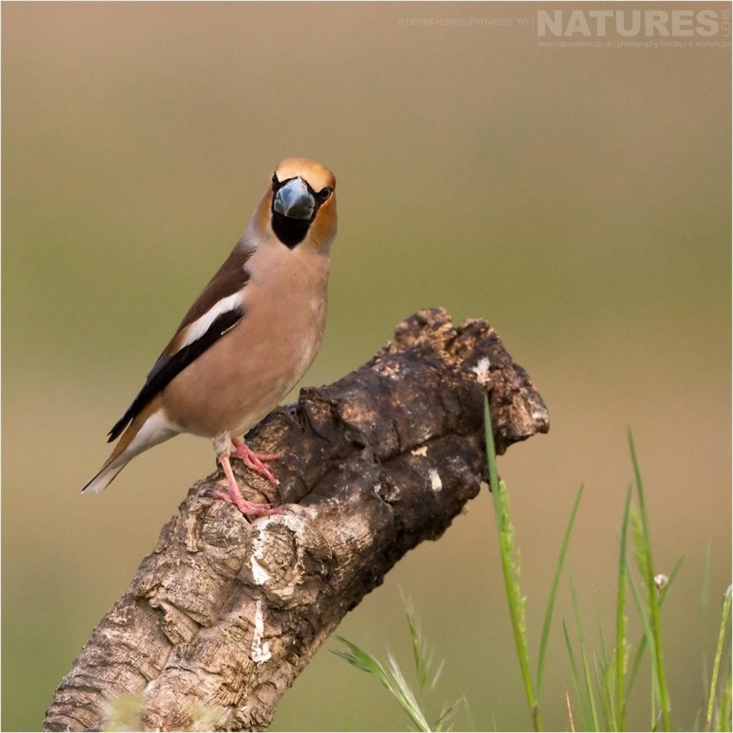 A perfectly perched Hawfinch photographed during the Natureslens Birds of Spain Photography Holiday