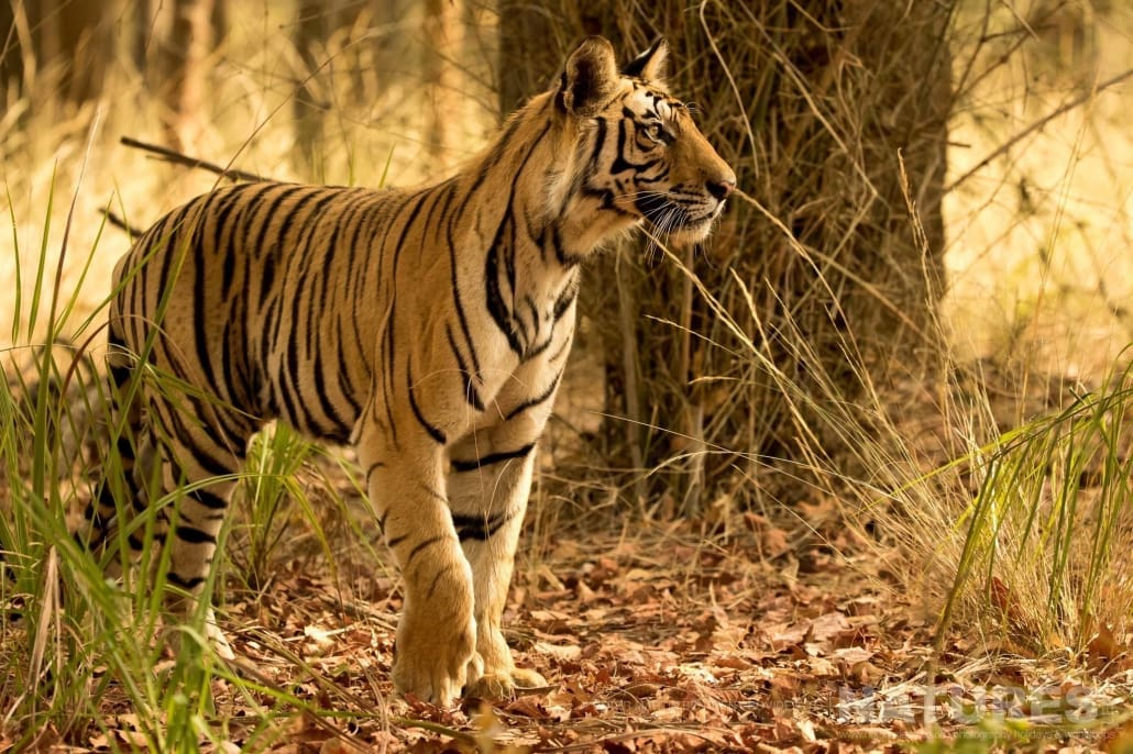 Alert to every movement, one of the younger examples of Bengal Tiger found in Bandhavgarh National Park image captured during the NaturesLens Bengal Tigers of India Photography Holiday