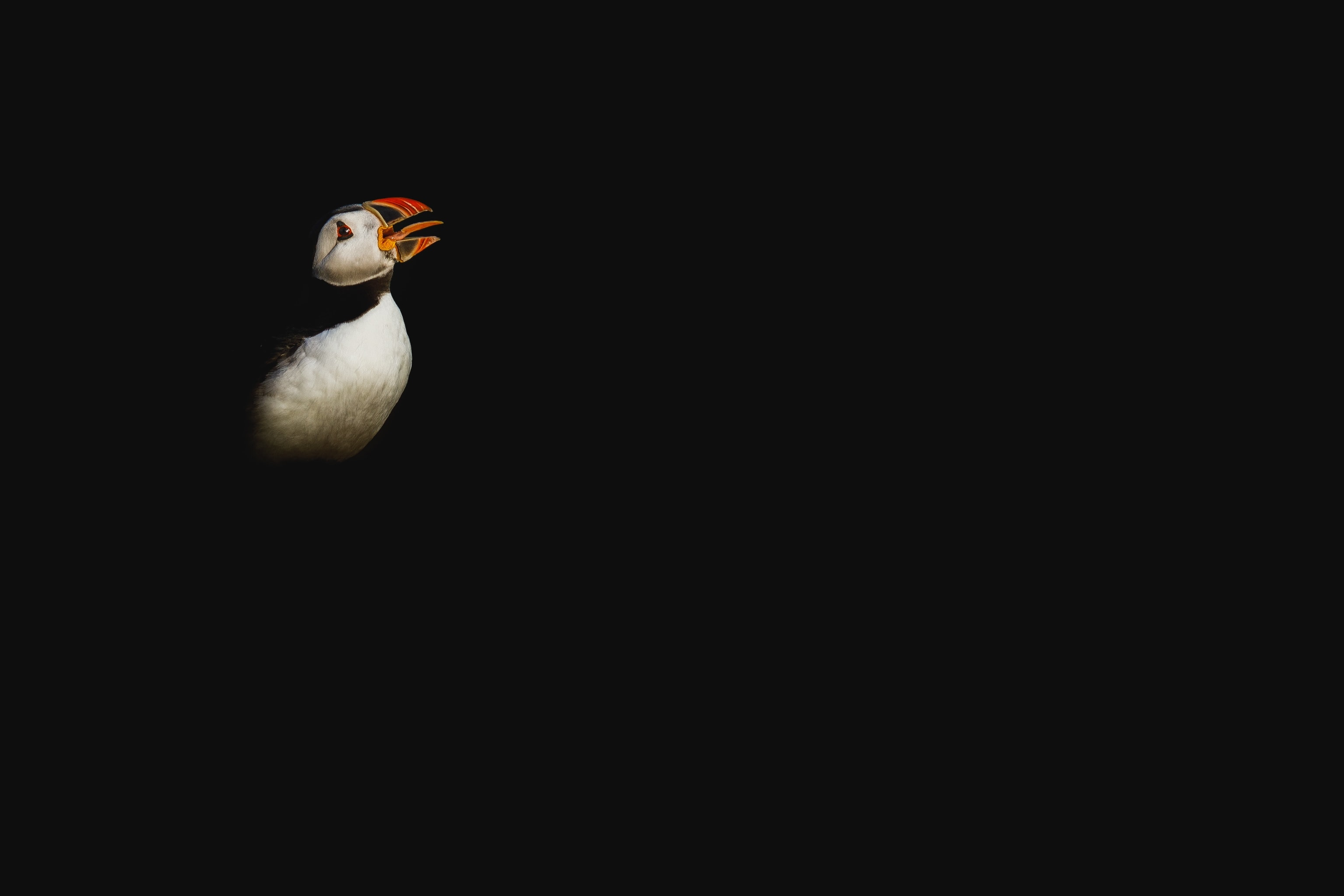 An Atlantic Puffin Emerges From The Darkness   Photographed During The NaturesLens Welsh Puffins Of Skomer Island WIldlife Photograhpy Holiday