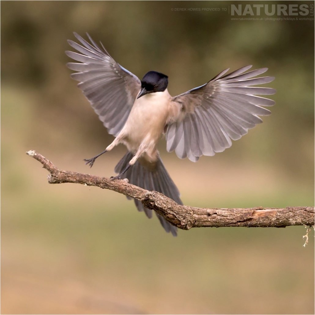 An Azure winged Magpie comes in to land photographed during the Natureslens Birds of Spain Photography Holiday