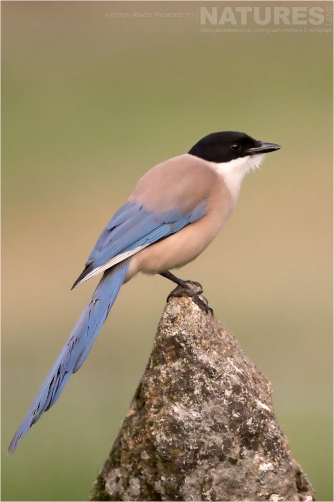 An Azure winged Magpie photographed during the Natureslens Birds of Spain Photography Holiday