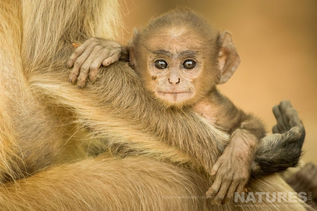Bandhavgarh is home to a large amount of wildlife here is a baby Langur Monkey cradled in it's mothers arms image captured during the NaturesLens Bengal Tigers of India Photography Holiday