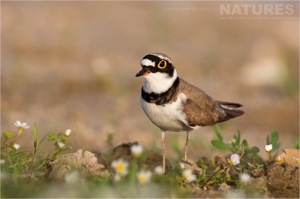 On the shorelines, a Little Ringed Plover photographed during the Natureslens Birds of Spain Photography Holiday