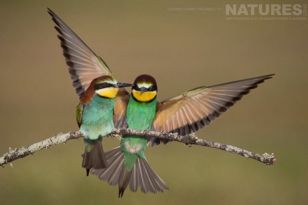 One European Bee eater comes in to land adjacent to another photographed during the Natureslens Birds of Spain Photography Holiday