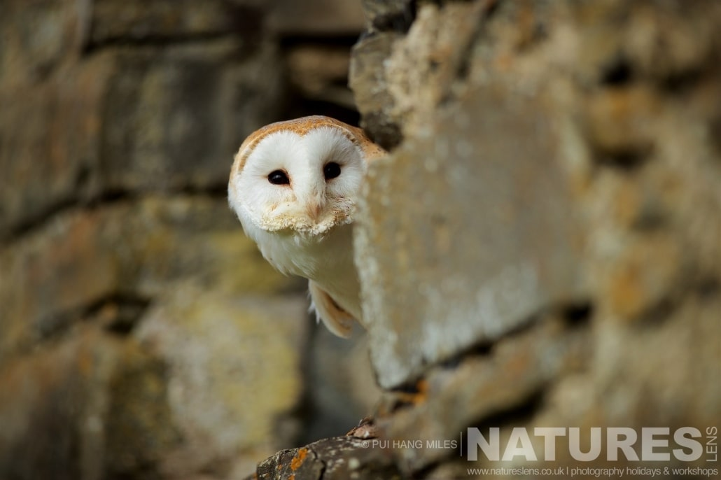 One of the Barn Owls peeks from a stone barn window typical of the kind of images that may be captured on the NaturesLens Bird of Prey Workshop