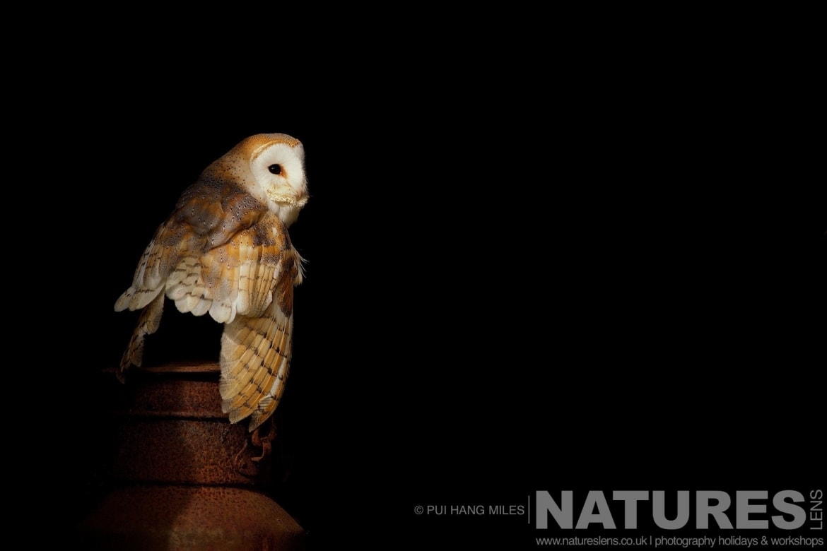 One of the Barn Owls typical of the kind of images that may be captured on the NaturesLens Bird of Prey Workshops
