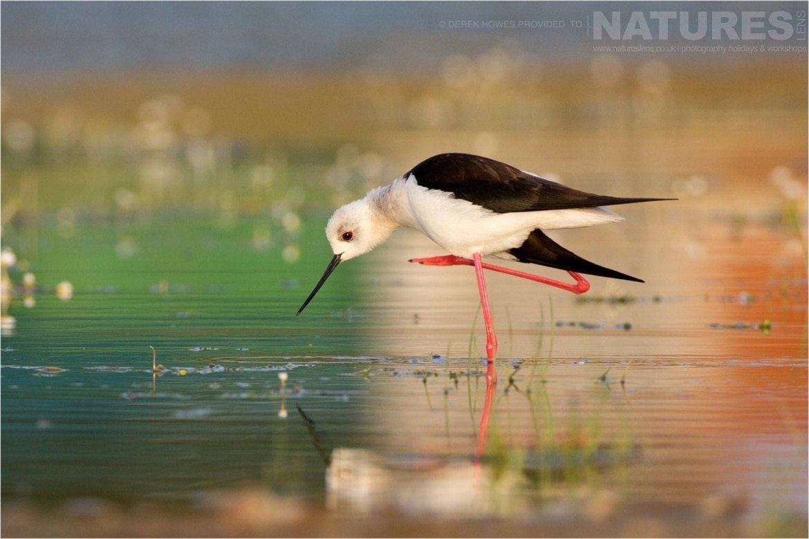 One of the Black winged Stilts poses one only one leg photographed during the Natureslens Birds of Spain Photography Holiday