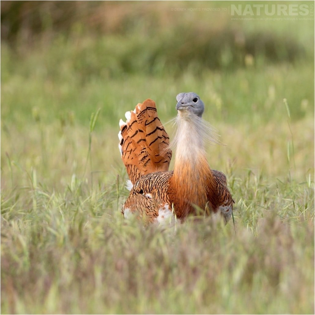 One of the Great Bustard males photographed during the Natureslens Birds of Spain Photography Holiday