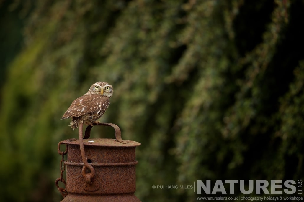 One of the Little Owls perched on a vintage milk churn typical of the kind of images that may be captured on the NaturesLens Bird of Prey Workshop