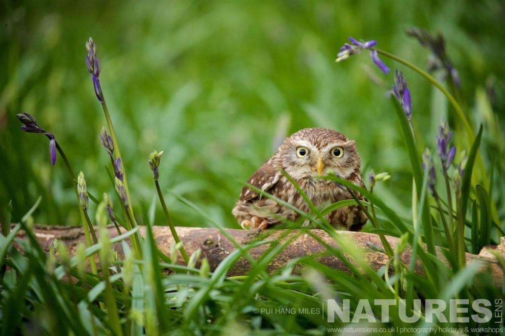 One of the Little Owls poses amongst some bluebells typical of the kind of images that may be captured on the NaturesLens Bird of Prey Workshop
