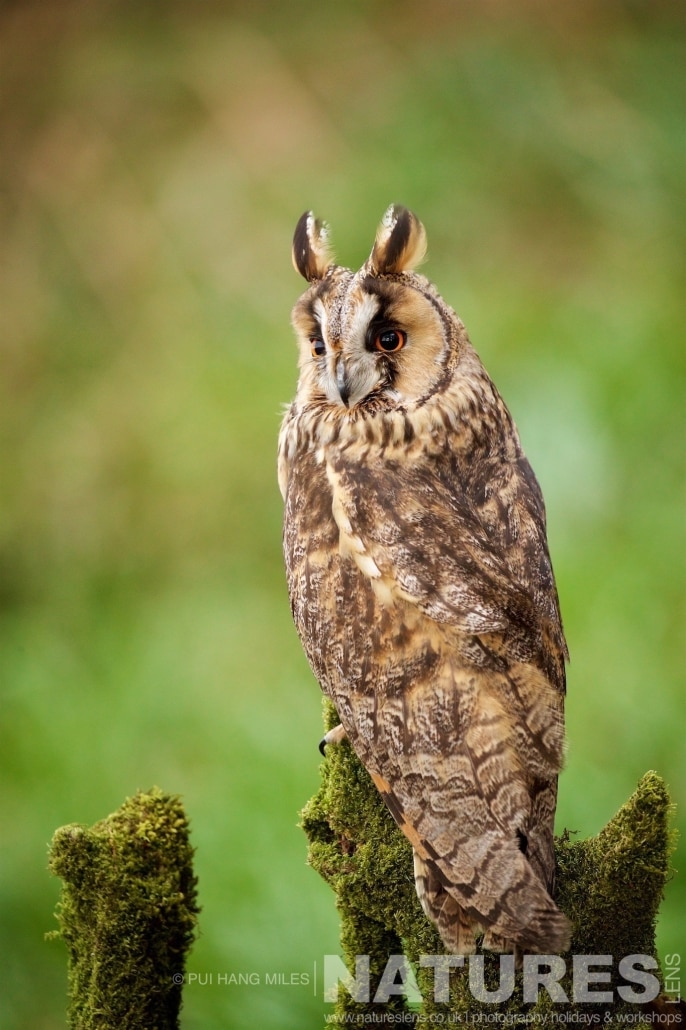 One of the Long eared owls posing on tree stump typical of the kind of images that may be captured on the NaturesLens Bird of Prey Workshop