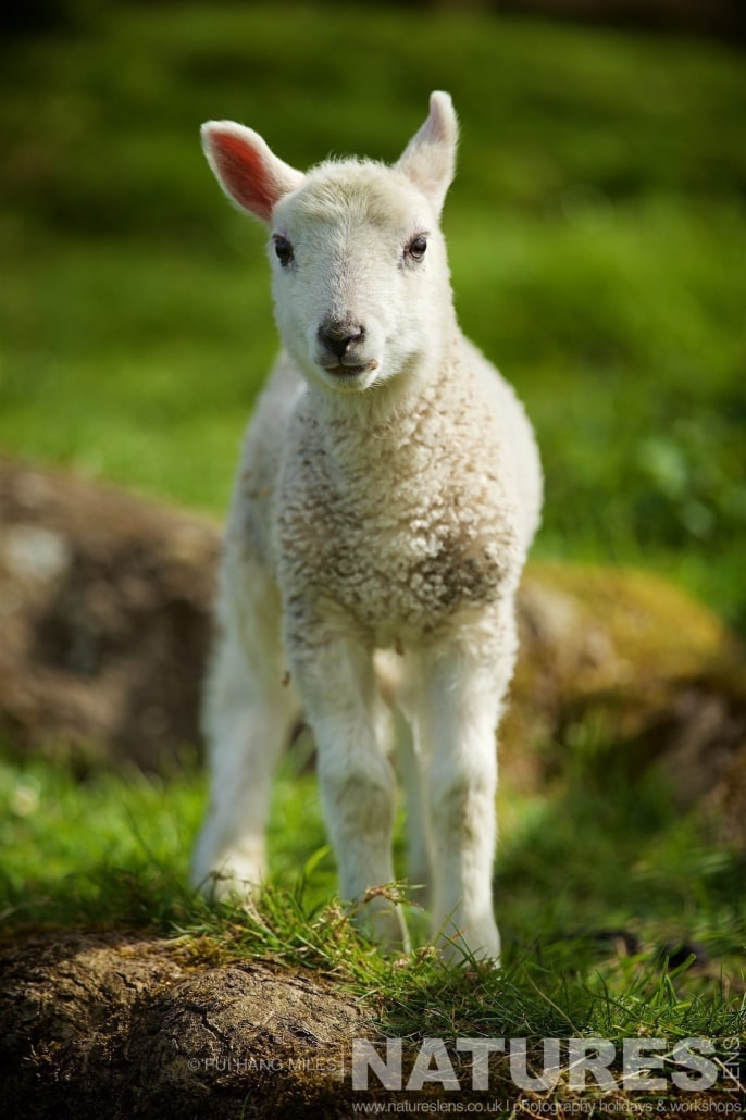 One of the Welsh Lambs typical of the kind of images that may be captured on the NaturesLens Bird of Prey Workshop