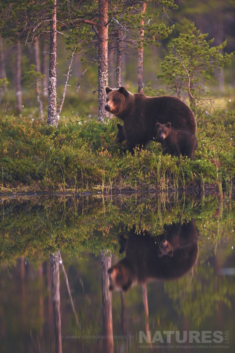 One of the bears wanders along the bank of a lake photographed during the Majestic Brown Bears Cubs of Finland Photography Holiday