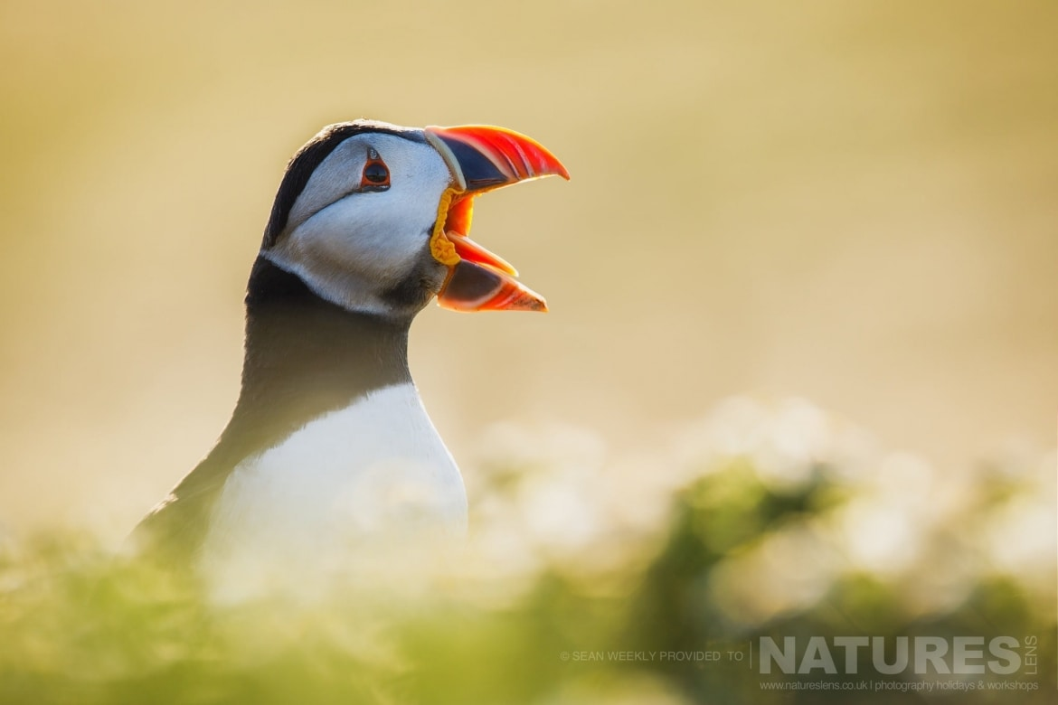 One Of The Fabulous Puffins Of Skomer Island In The Gentle Light Of The Evening Sun   Photographed During The Welsh Puffins Of Skomer Island Photography Holiday