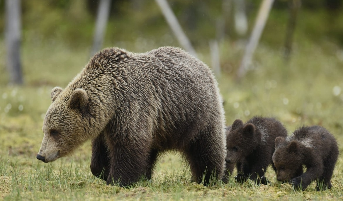 One Of The Female Wild Brown Bears & A Pair Of Cubs Walk Through The Meadow   Photographed During A NaturesLens Majestic Brown Bears Of Finland Photography Holiday
