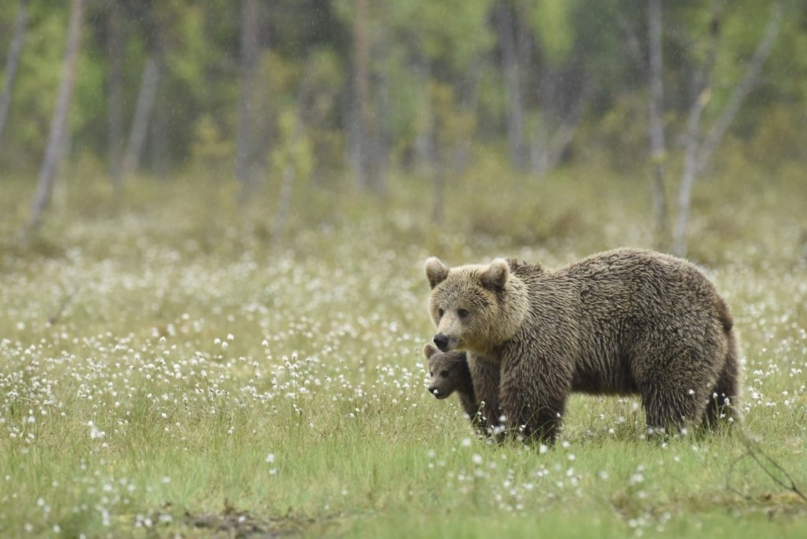 One Of The Female Wild Brown Bears & Her Cub Of Suomussalmi Walks Through The Cotton Grass Photographed During A NaturesLens Majestic Brown Bears Of Finland Photography Holiday