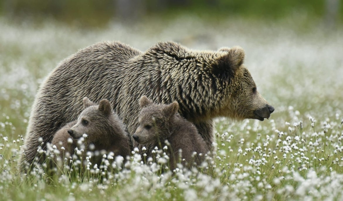 One Of The Female Wild Brown Bears & Her Pair Of Cubs Walk Through Cotton Grass   Photographed During A NaturesLens Majestic Brown Bears Of Finland Photography Holiday