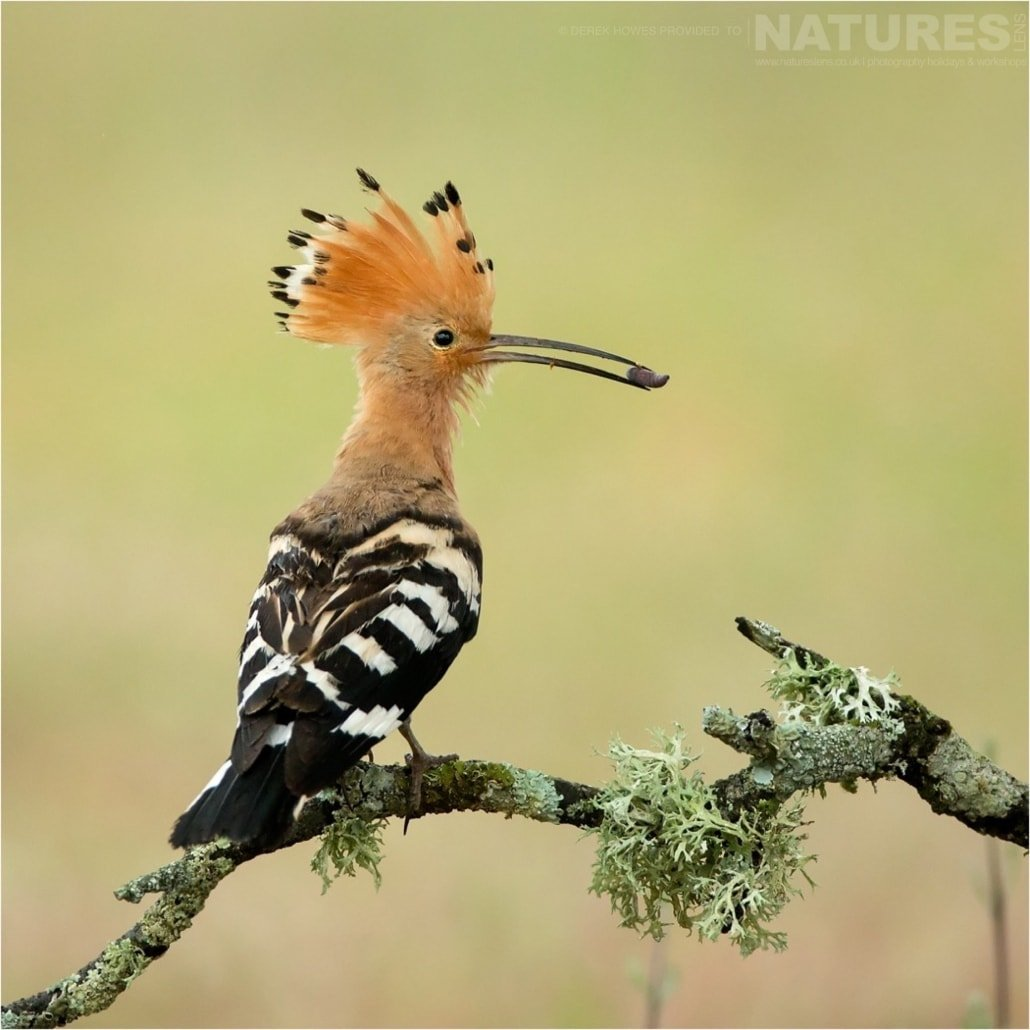 One of the hoopoes returns to the nest with a freshly caught grub photographed during the Natureslens Birds of Spain Photography Holiday