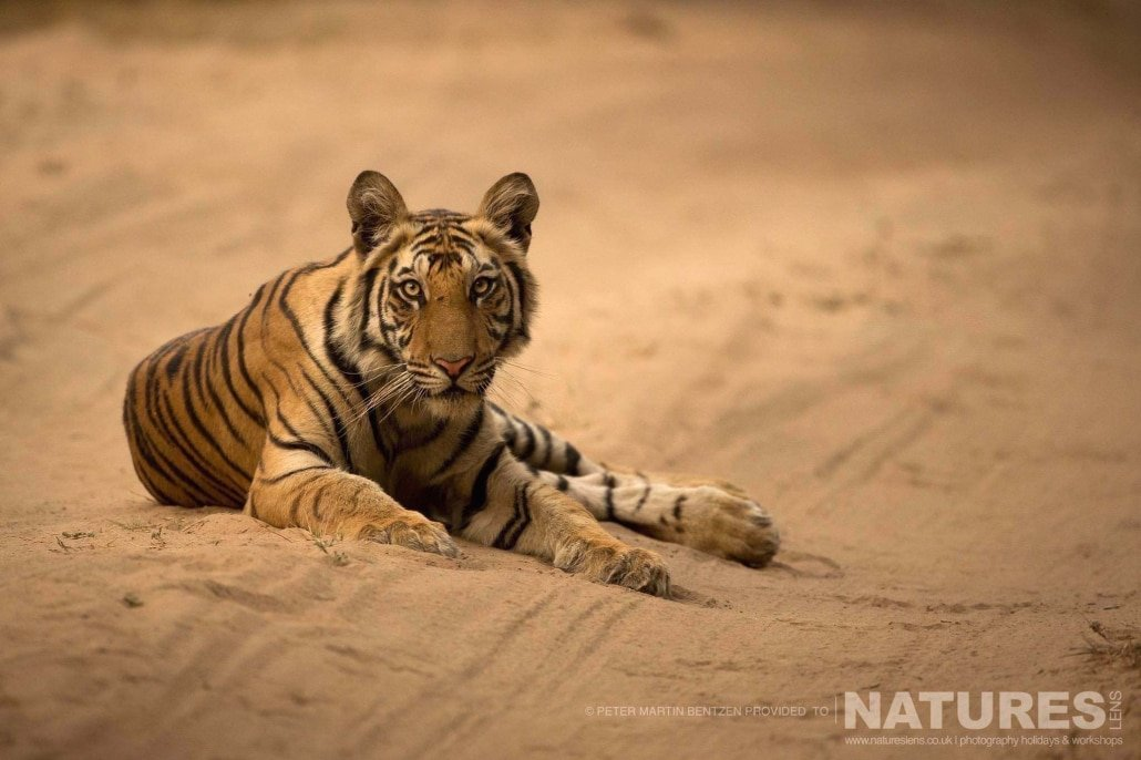 One of the juvenile Bengal Tigers located in one of the zones of Bandhavgarh National Park image captured during the NaturesLens Bengal Tigers of India Photography Holiday