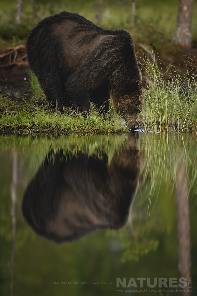 One of the large male bears drinks from a lake in front of the photographic hides photographed during the Majestic Brown Bears Cubs of Finland Photography Holiday