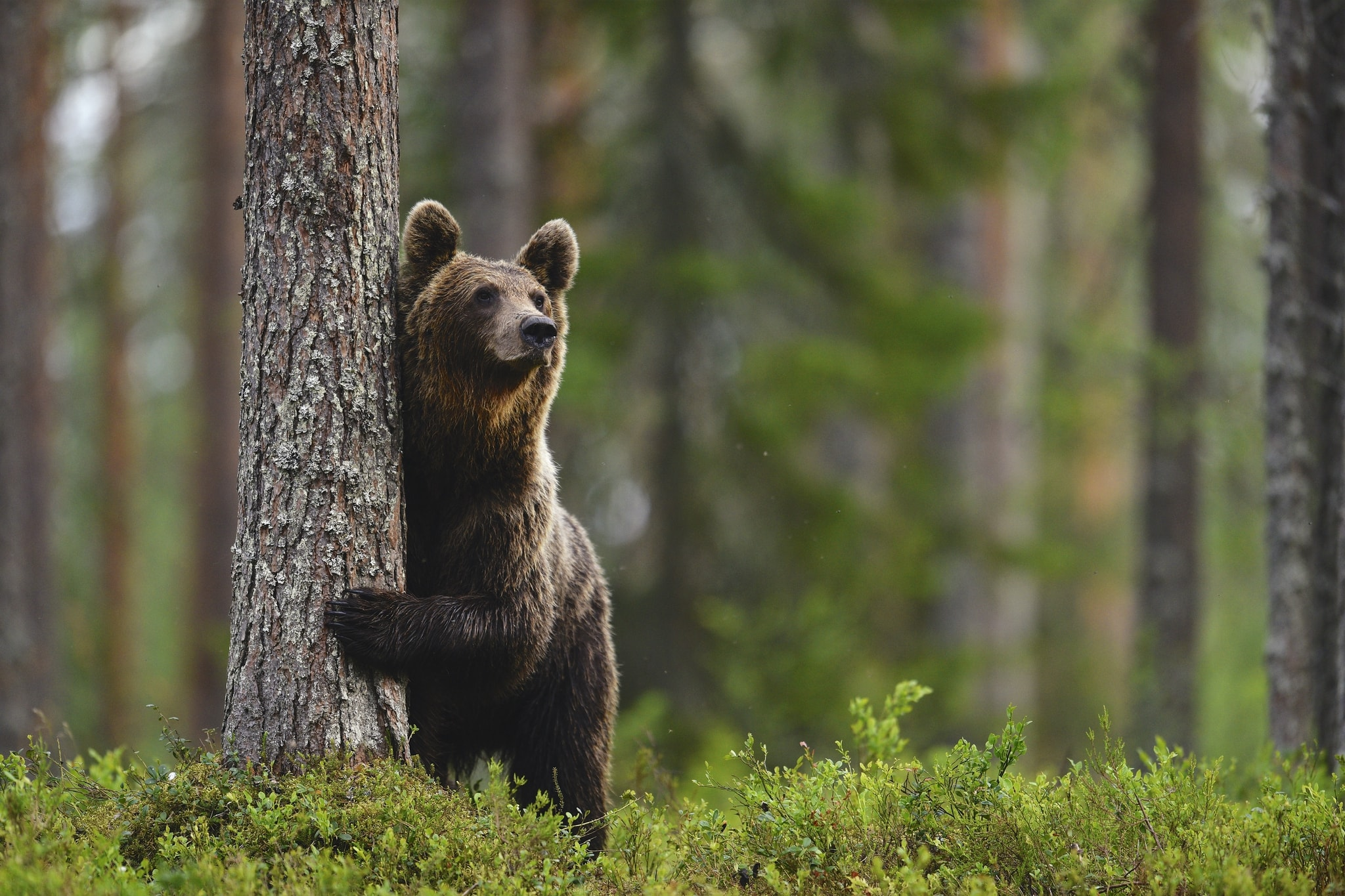 One of the large male bears pauses in front of the photographic hides photographed during the Majestic Brown Bears Cubs of Finland Photography Holiday