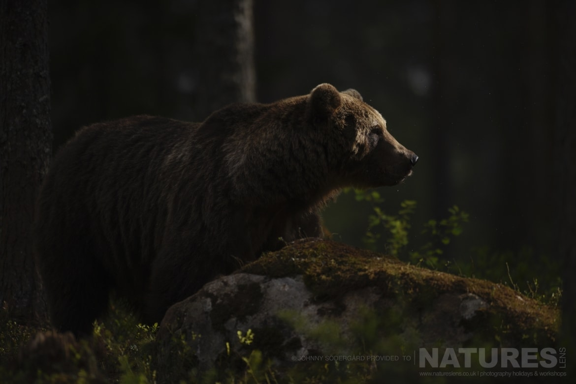One of the large male bears sat in the darkness of the forest photographed during the Majestic Brown Bears Cubs of Finland Photography Holiday