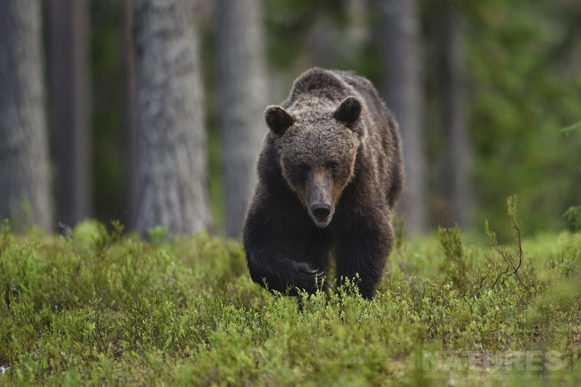 One of the large male bears wanders towards the photographic hides photographed during the Majestic Brown Bears Cubs of Finland Photography Holiday