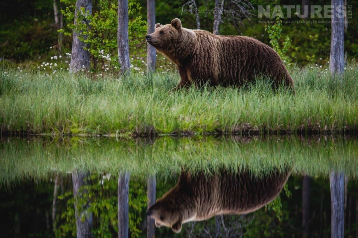 One Of The Larger Brown Bears Of Finland Reflected On The Edge Of One Of The Lakes   Photographed During The Wild Brown Bears Of Finland Photography Holiday