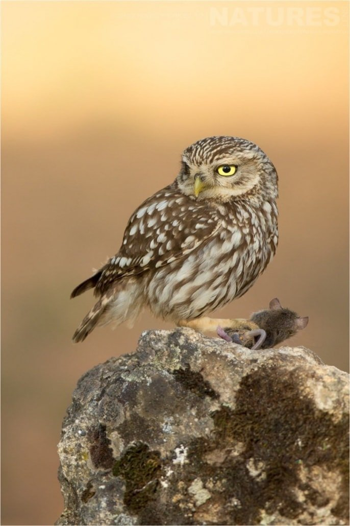 One of the little owls that live in an olive grove photographed during the Natureslens Birds of Spain Photography Holiday