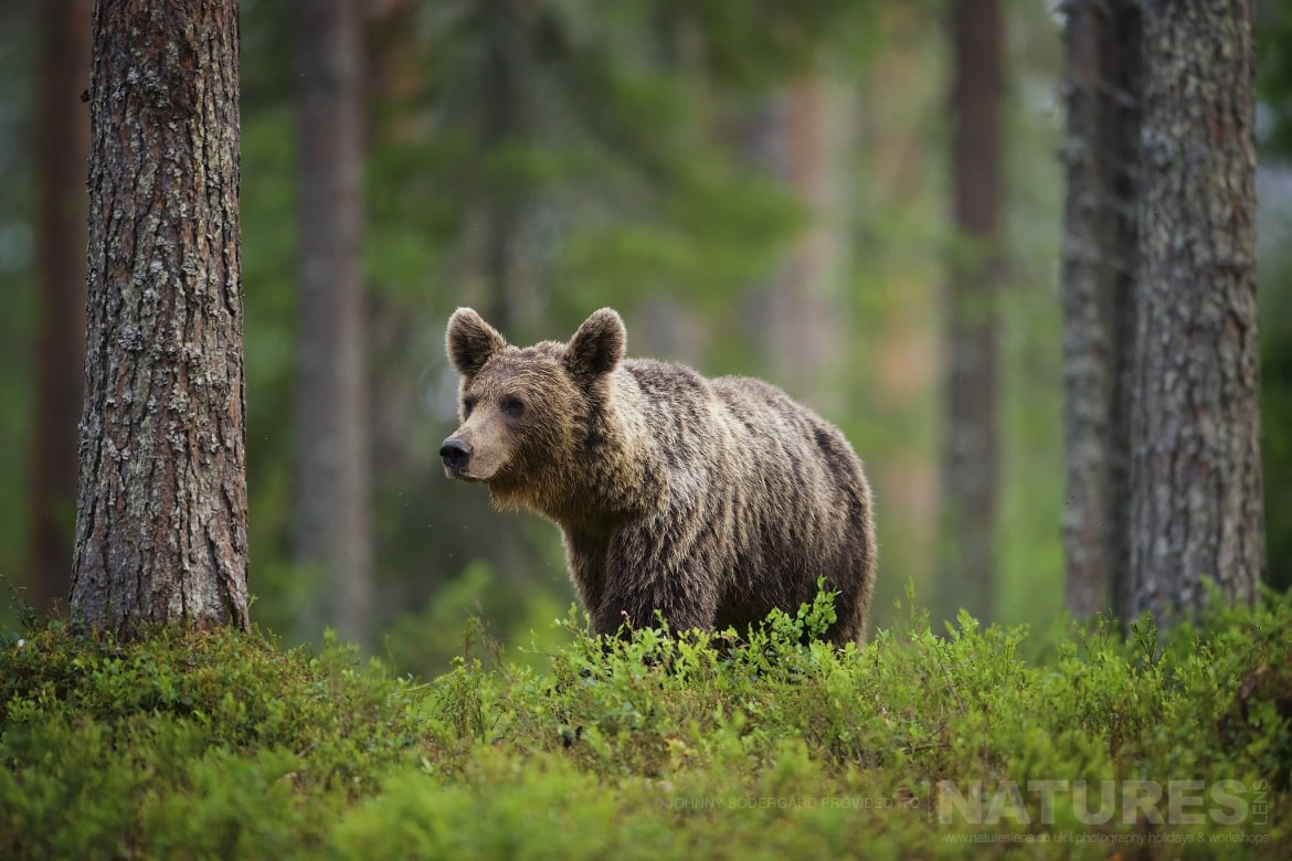 One of the male bears pauses in front of the photographic hides photographed during the Majestic Brown Bears Cubs of Finland Photography Holiday