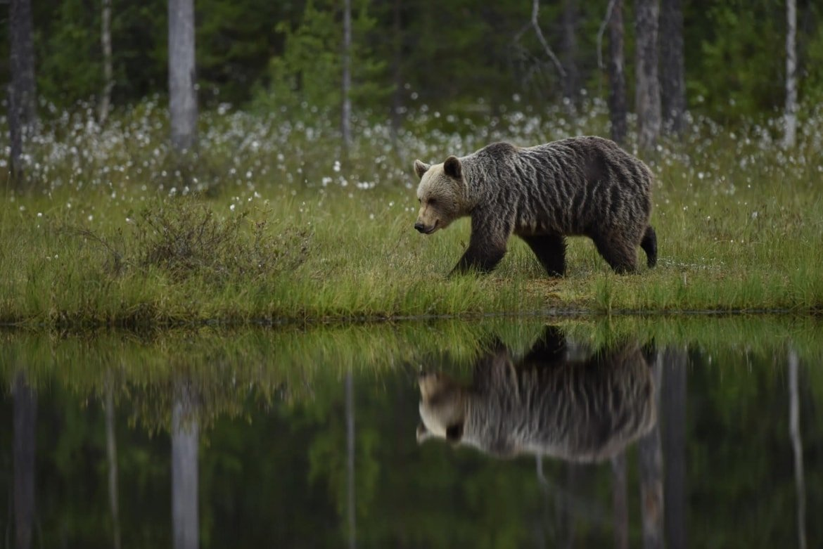 One Of The Wild Brown Bears Of Kuhmo Walks Alongside A Lake   Photographed During A NaturesLens Wild Brown Bears Of Finland Photography Holiday
